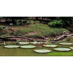 Sementes de Vitória-Régia ou Victória-Régia (Victoria amazonica)