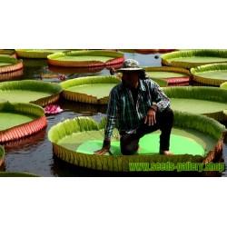 Amazonas Riesenseerose Samen (Victoria amazonica)