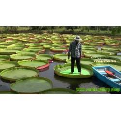 Semillas Nelumbonaceae Lirio de agua gigante (Victoria amazonica)