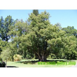 Sementes de Canela (Cinnamomum camphora)