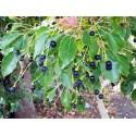 Semillas de Hierba africana de los sueños (Entada rheedii)