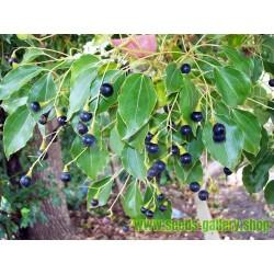 Graines de Cannelle (écorce) (Cinnamomum camphora)