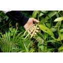 Walking Stick Kale - Jersey Cabbage Seeds (Brassica oleracea longata)