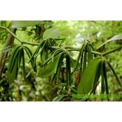 Sementes de Baunilha Bourbon (Vanilla planifolia)
