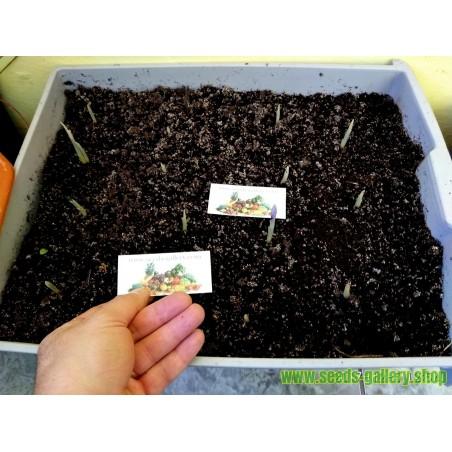 Graines de Dummela - pastèque amère (Gymnopetalum integrifolium)