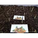 Saffron Seeds (Saffron crocus)