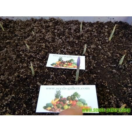 Safran Samen (Saffron crocus)