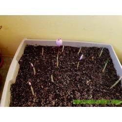 Safran Seme (Crocus sativus)