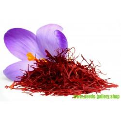 Saffran Fröer (Crocus sativus)