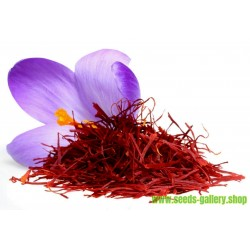 Semi di Zafferano (Crocus sativus)