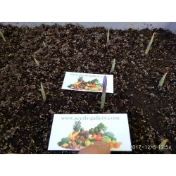Graines de Safran (Crocus sativus)
