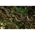 Graines de Passiflore Fétide, Grenadille-Caméléon (Passiflora foetida)