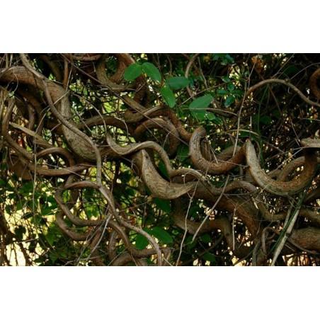 Afrikansk Drömböna Fröer (Entada rheedii)