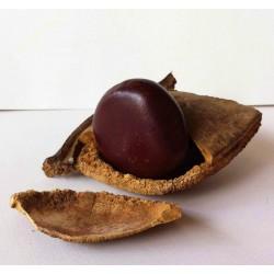 African Dream Herb - Snuff Box Sea Bean Seeds (Entada rheedii)