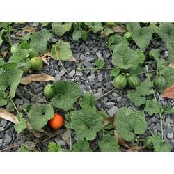 Dummela - Bittere Wassermelonen Samen (Gymnopetalum integrifolium)
