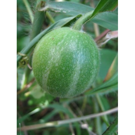 Graines de Câprier Commun ou Câprier Épineux (Capparis spinosa)