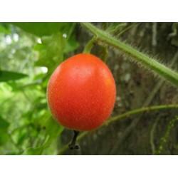 Dummela - Bitter Watermelon Seeds (Gymnopetalum integrifolium)
