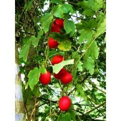 Meerrettich Samen (Armoracia rusticana)