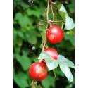 Caper bush, Flinders Rose Seeds (Capparis spinosa)