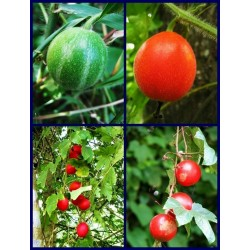 Semi di Dummela - anguria amarognolo (Gymnopetalum integrifolium)