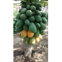 Echte Kapernstrauch Samen (Capparis spinosa)
