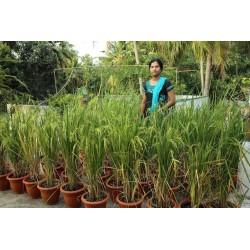 Μαύρο Ρύζι Royal Pearl σπόρων