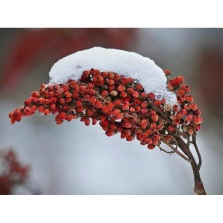 Slatki Badem Seme (Prunus amygdalus)
