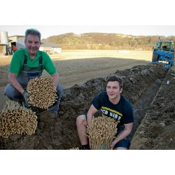 Σπόροι Χρένο ή η Αρμοράκια η αγροτική (Armoracia rusticana)
