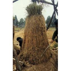 Graines de Raifort champêtre (Armoracia rusticana)