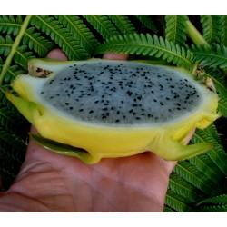 Gelbe Drachenfrucht 100 Samen Pitahaya