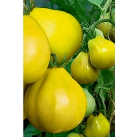 Graines de Tomates Truffe Jaune – Yellow Truffle