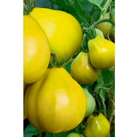 Japanski Yellow - Zuti Truffle Paradajz Seme