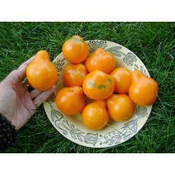 Japanese Yellow Truffle Tomato Seeds