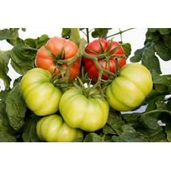 """""""Monte Rosa"""" Ribbed Pink Tomato Seeds"""