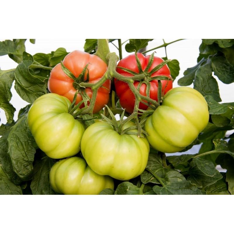Seme Zelene Salate Brune d'hiver