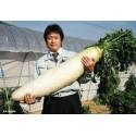 """Daikon"" Giant Long Japanese Radish Seeds"