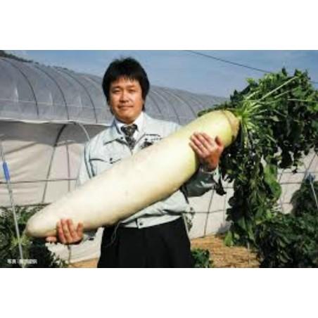 """Sementes De Rabanete Gigante Japonês """"Daikon"""""""