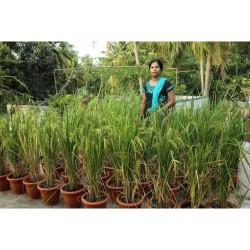 Mirisni Jasminski Pirinac (riza ili oriz) Seme
