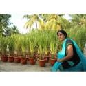 Brown Jasmin Rice Seeds Heirloom Non-Gmo
