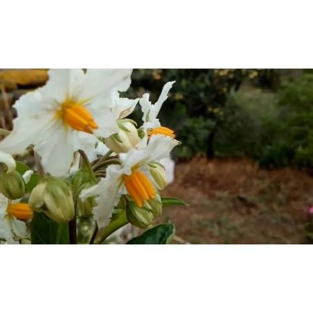 GOLDEN PEARLS Seeds (Solanum villosum)