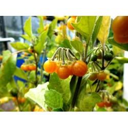 Gelbfrüchtiger Nachtschatten Samen  (Solanum villosum)