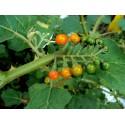 Semillas de Palmito o Palmera Enana (Chamaerops humilis)