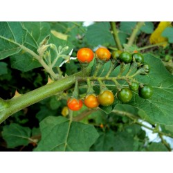 GOLDEN PEARLS Seeds (Solanum villosum)