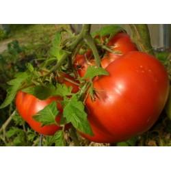 Semillas de tomate de Volgogrado - variedad rusa