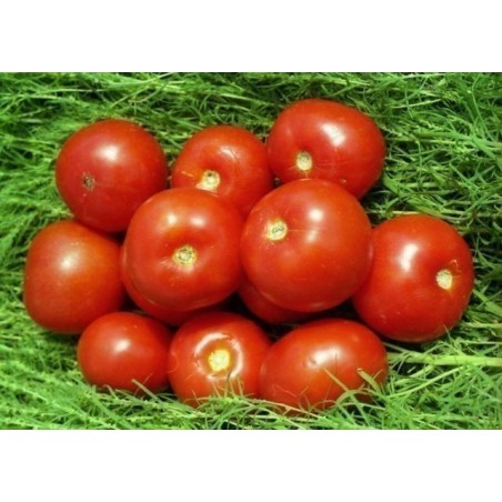Volgograd Tomato Seeds Russian Heirloom