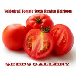Sementes de tomate Volgograd - variedade russa