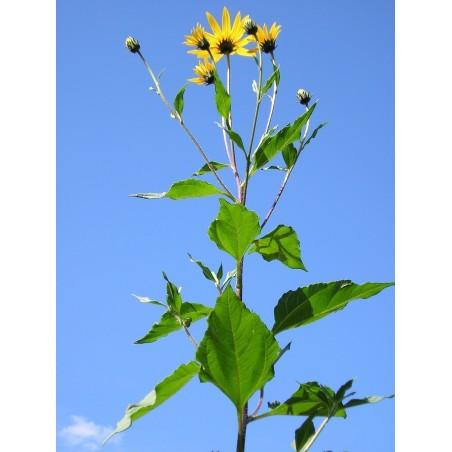 Topinambur Pflanzenknollen (Helianthus tuberosus)
