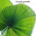 Graines de Aristoloches (Aristolochia gigantea)