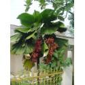 Ruffled fan Palm Seeds (Licuala grandis)
