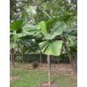 Germinación de las semillas de Pasiflora